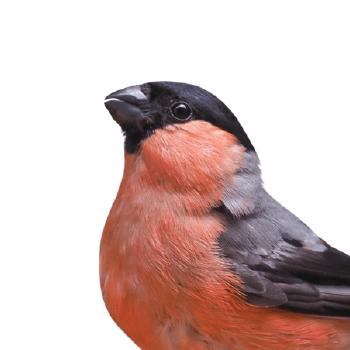 Einheimische europäische Vögel