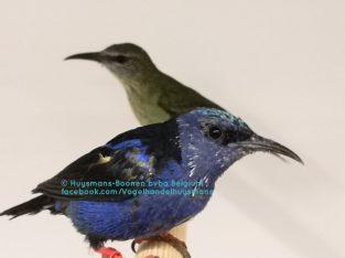 Blauwe suikervogel