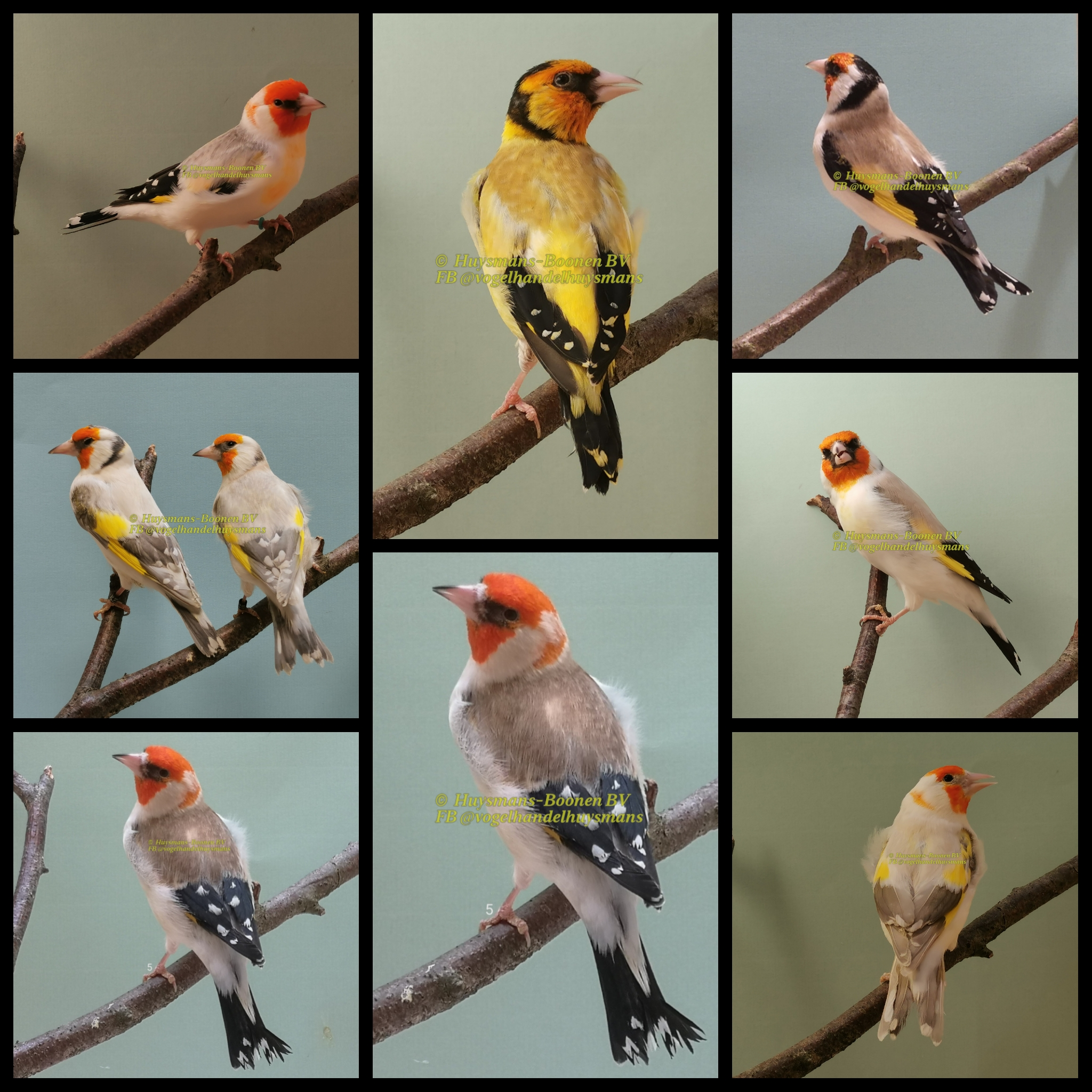 Major putters mutaties – Siberian goldfinch