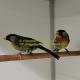 Zilveroornachtegaal (leiothorix argentauris)