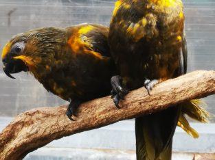 Wanted chalcopsitta duivenbodei – Braunlori
